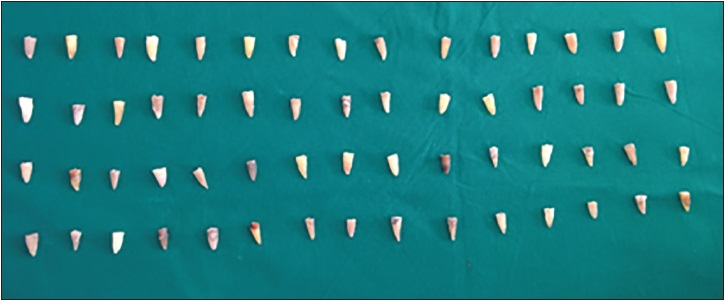 Figure 1: Decoronated teeth