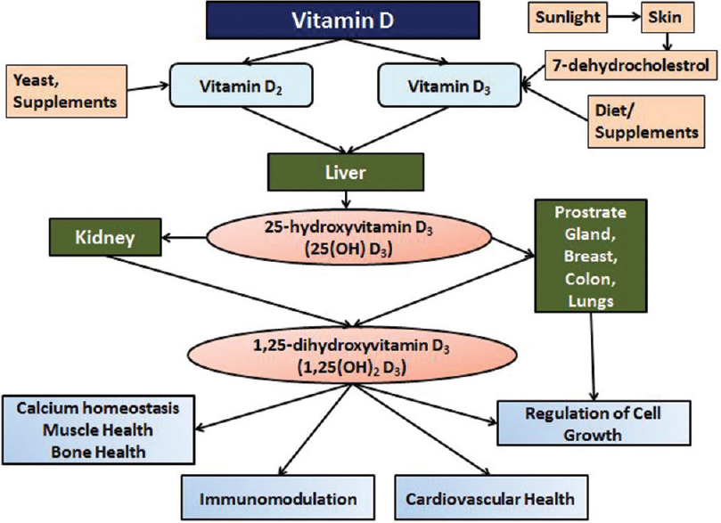 Reconnoitering The Relationship Between Sunshine Vitamin And. Ure 2 Sources And Fate Of Vitamin D In The Body. Wiring. Homeostasis Diagram Of Vit D At Scoala.co